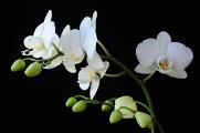 bílá orchidej 02-03-2014