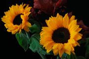 slunečnice a gerbera 10-2014