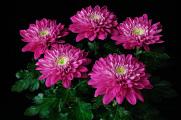 chrysanthemum 08-2016