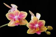 orchidej 05-2017