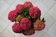 hortensie a chrysantéma 06-2017