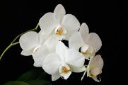Orchidee 11-2017