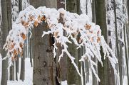 bukový les v zimě