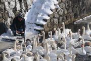 labutě na zamrzlé Malši