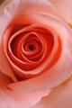 růže I