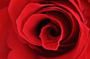 růže III