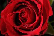 růže V