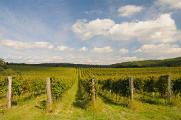 vinice v okolí obce Hnanice