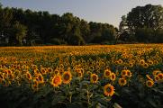 slunečnicové pole u Mantovy