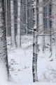 zimní les V