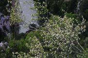 kozkvetlá vrba nad kaňonem Verdon
