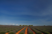 levandulové pole