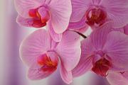 orchideje III