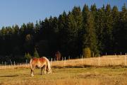 Horská Kvilda - kůň na pastvě