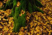 kořeny porostlé mechem