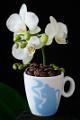 šálek na espresso Hausbrandt a orchidej IX