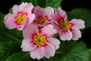 růžový petrklíč