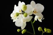 bílá orchidej I
