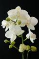 bílá orchidej III