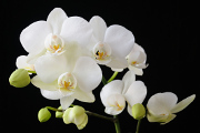 bílá orchidej IV