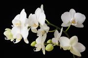 bílá orchidej VI