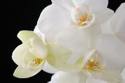 bílá orchidej V