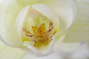 bílá orchidej VIII