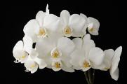 bílá orchidej IX
