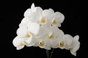 bílá orchidej X