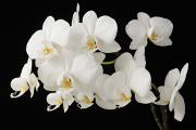 bílá orchidej XI