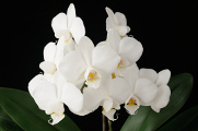 bílá orchidej XII
