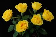 žluté růže I