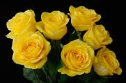 žluté růže III