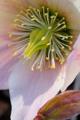 květ čemeřice