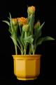tulipány v květináči I