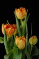oranžové tulipány III