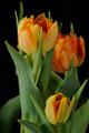 oranžové tulipány IV