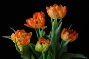 oranžové tulipány VII