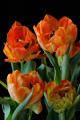 oranžové tulipány VIII
