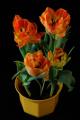 oranžové tulipány XI