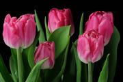 růžové tulipány III