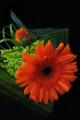 oranžová gerbera II