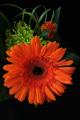 oranžová gerbera IV
