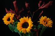 slunečnice I