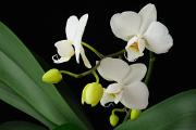 bílá orchidej II