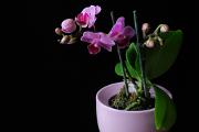 fialovo-růžová orchidej