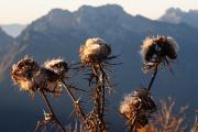 pcháč na pozadí Alpi Bellunesi