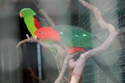 papoušek červenokřídlý I