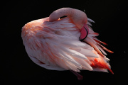 plameňák růžový II