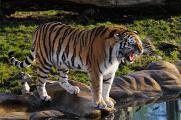 tygr ussurijský II
